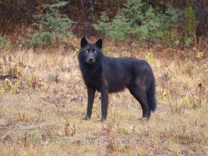 grass - black wolf2