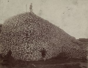 An actual pile of buffalo skulls. Slaughtering the buffalo was part of a plan to starve the Natives off the land.